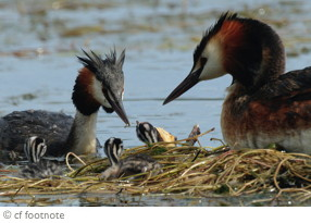 Picture of parent Grebes with stripey chicks on their floating nest